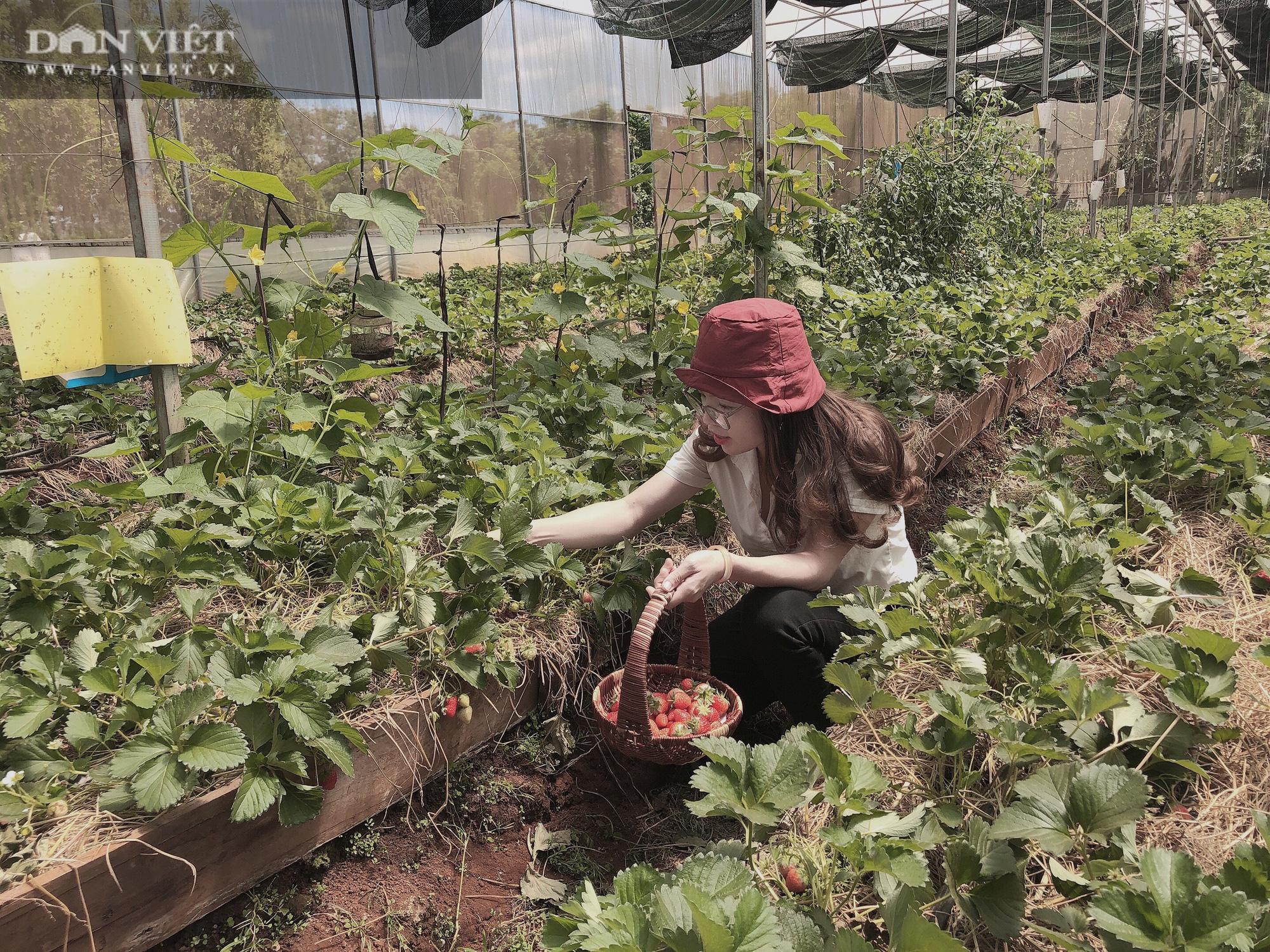 Kỹ sư 8X đánh liều trồng giống dâu lạ, làm 2 vụ đã thu hồi vốn đầu tư ban đầu - Ảnh 6.